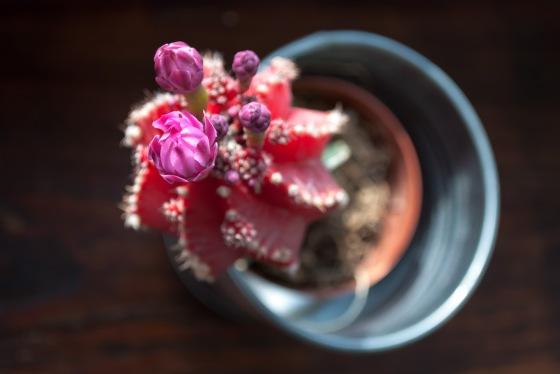 Gymnocalycium mihanovichii aneb když rozkvete červenýkaktus